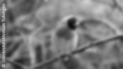 Image: Image of a bird in greyscale and blurred; Copyright: Universitätsklinikum Tübingen