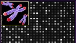 Image: Image of three chromosomes with red tips next to a grid of grey and white dots; Copyright: National University of Singapore