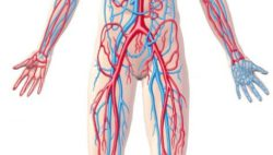 Image: human body with arteries and venes; Copyright: panthermedia.net/Pixelchaos